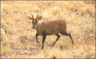 This shy and elusive member of the deer family is spread across all the dense jungles of India. It has been named after its call, which bears a striking resemblance to the bark of dog. These animals grow to a height of 50 - 75 cms and weigh 20 -30 kgs. They have a life expectancy of between 20 - 30 years. They mostly live in solitude and are only very rarely seen in numbers exceeding two. Due to their low height and small stature, their main diet consists of grass and fallen fruits. They rarely venture out into open grasslands and are mostly seen feeding near the edge of dense forests. They can also be frequently seen at salt licks like the one shown in the picture below. They are mostly diurnal in habit but it is close to impossible to see them at night due to their dense habitat areas. Their alarm call, unless endlessly repeated, is not taken seriously as an indication of the presence of a predator. They are easily startled by any movement.