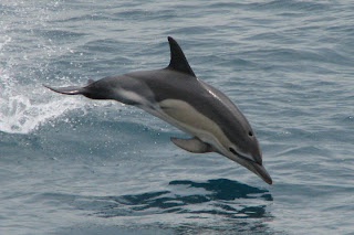 common dolphin wallpaper animal sea dolphins lumba-lumba