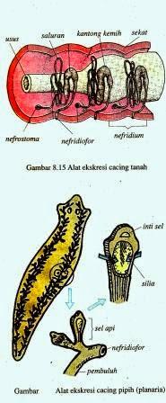Sistem Ekskresi pada Hewan (Vertebrata dan Avertebrata)