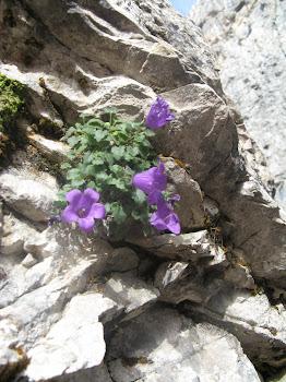 Campanula morettiana (Campanula del Moretti)