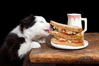 A border collie pup takes a bit out of a sandwich
