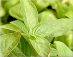 Kitchen Dictionary: basil