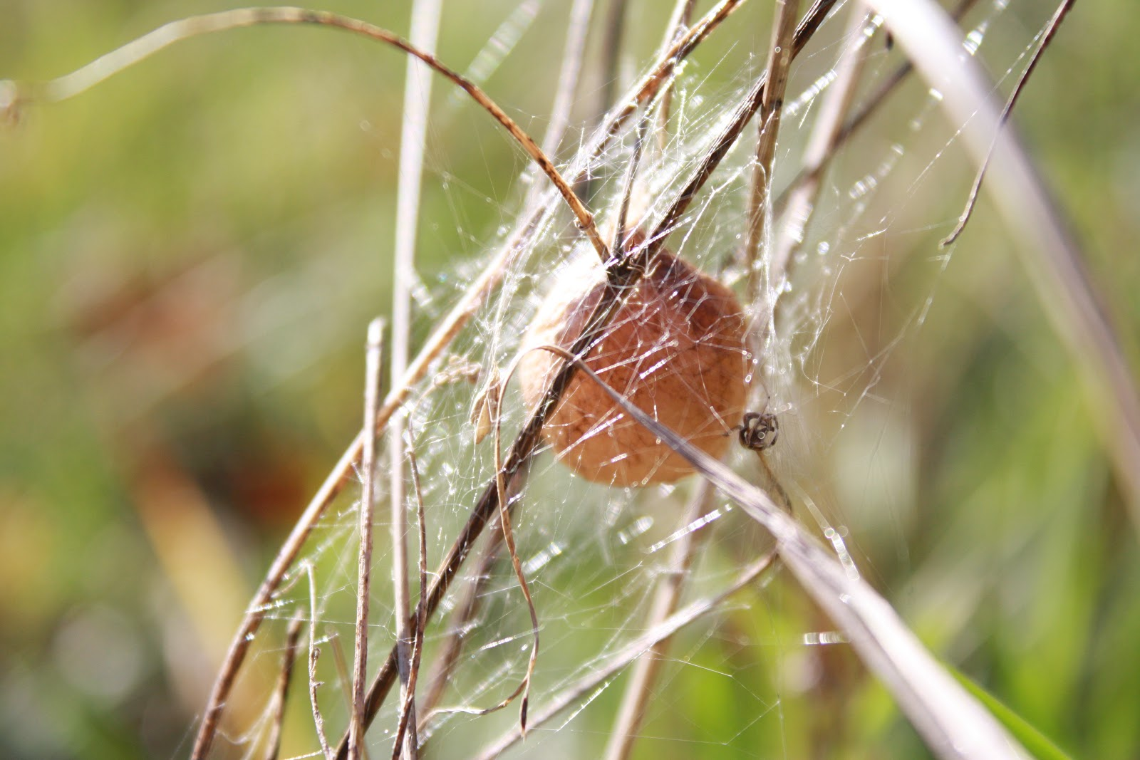 Simple things nature notebook for Garden spider egg sac