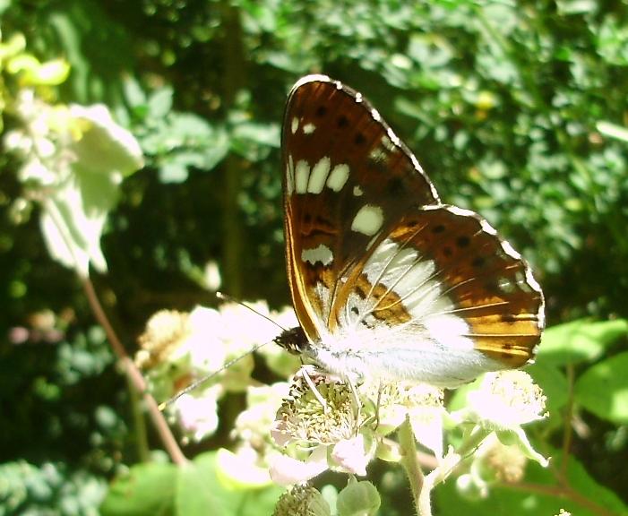 Se aprecia sobre todo en el ala posterior la doble hilera de puntos de la Limenitis camilla
