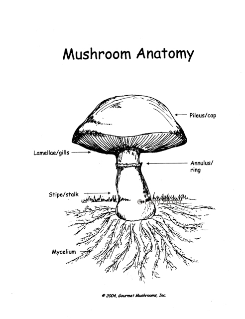 anatomy of a mushroom I want to share another comic i made showing the names of the different parts of a mushroom and the stages of its life by fabulousfungi.