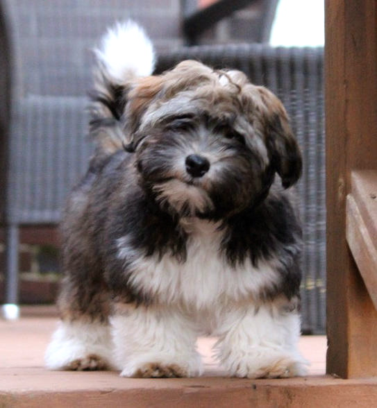 Havanese at 18 weeks
