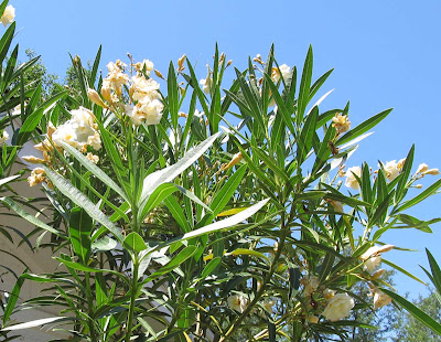Annieinaustin, double, fragrant yellow oleander