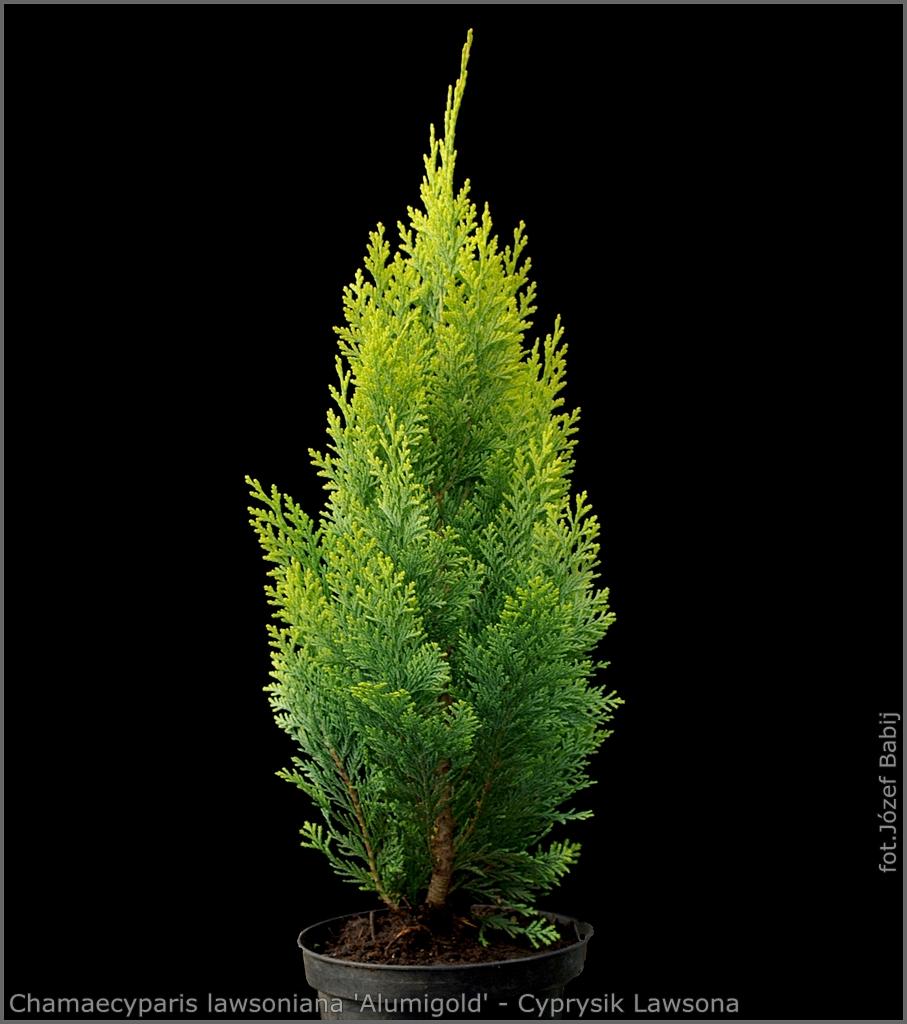 Chamaecyparis lawsoniana 'Alumigold' - Cyprysik Lawsona 'Alumigold'