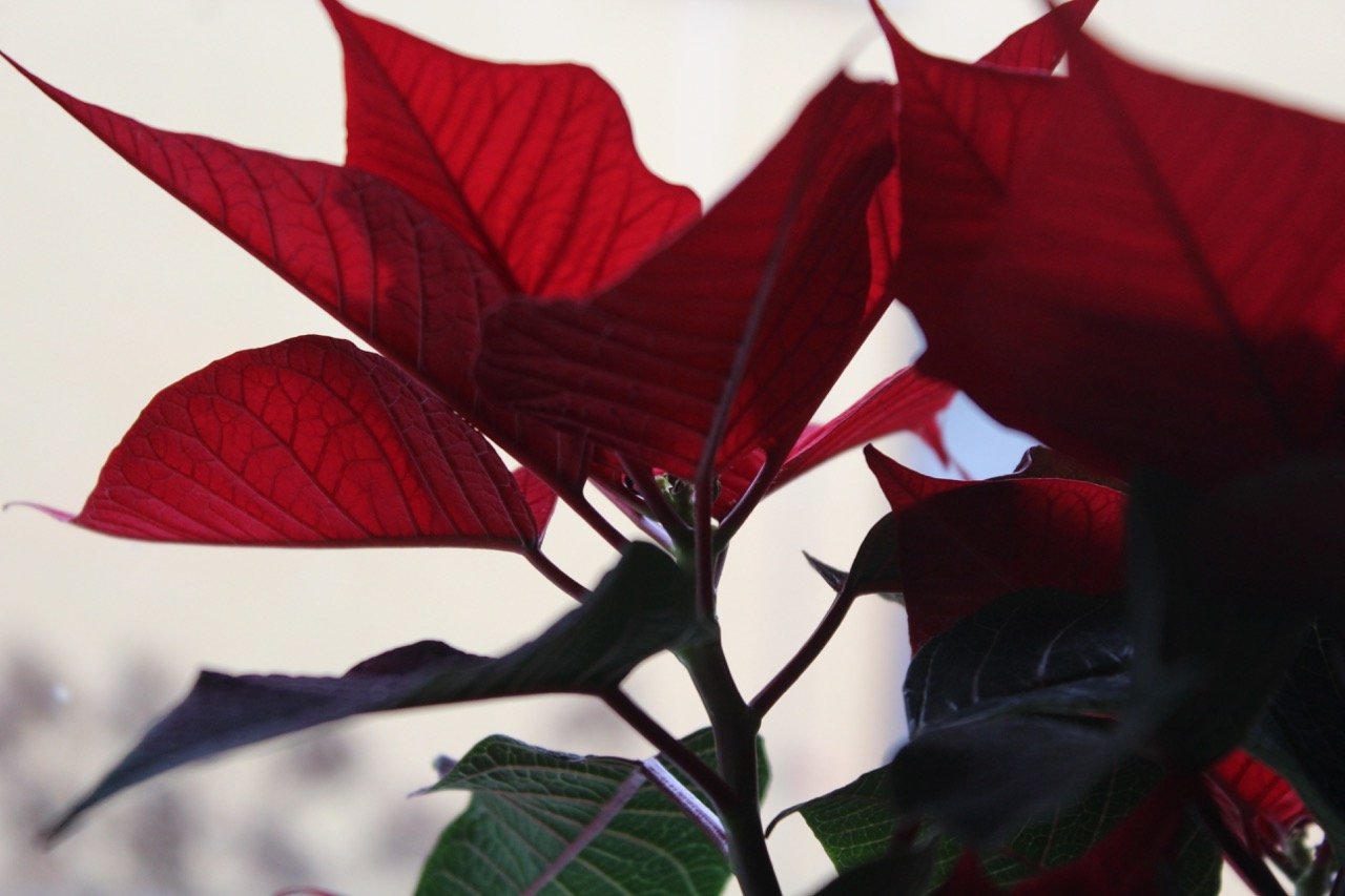 weihnachtsstern ein wegwerfprodukt bergblumengarten. Black Bedroom Furniture Sets. Home Design Ideas