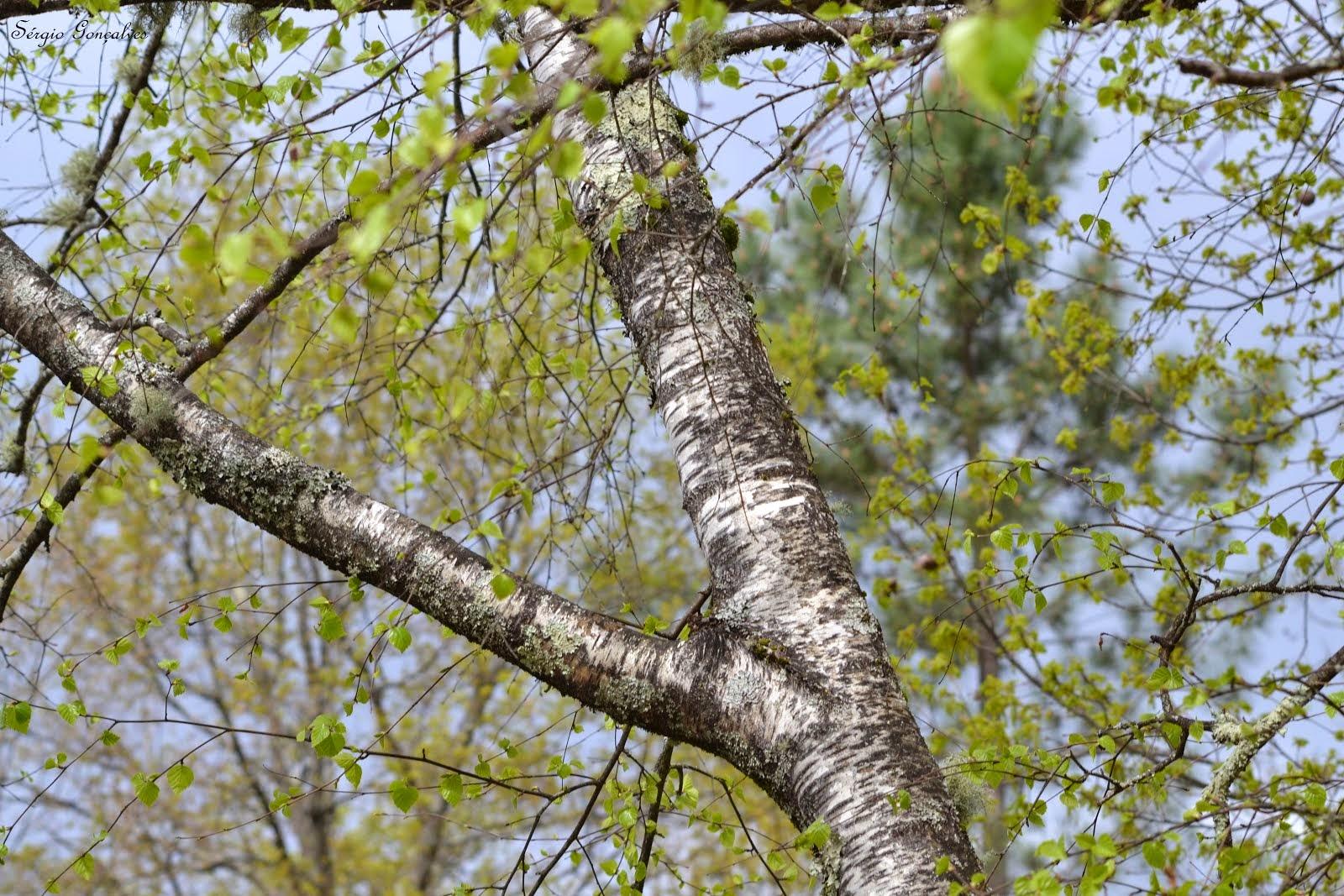 O vidoeiro-branco  (Bétula pendula)