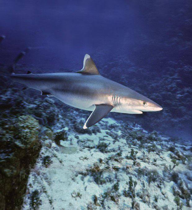 Komodo Dive Center - Whitetip Reef Shark