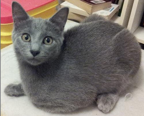 feline rescue cat tales gray kittens looking for homes