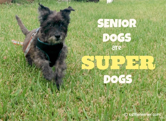 Oz the Terrier's 3 reasons why senior dogs are super dogs for ASPCA's Adopt A Senior Dog Month