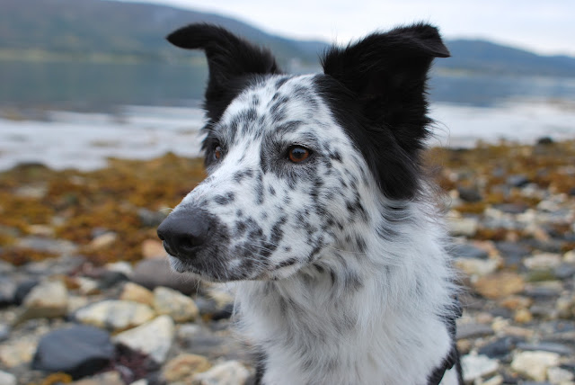 The coat colors of border collies varies; here we see a black and ...