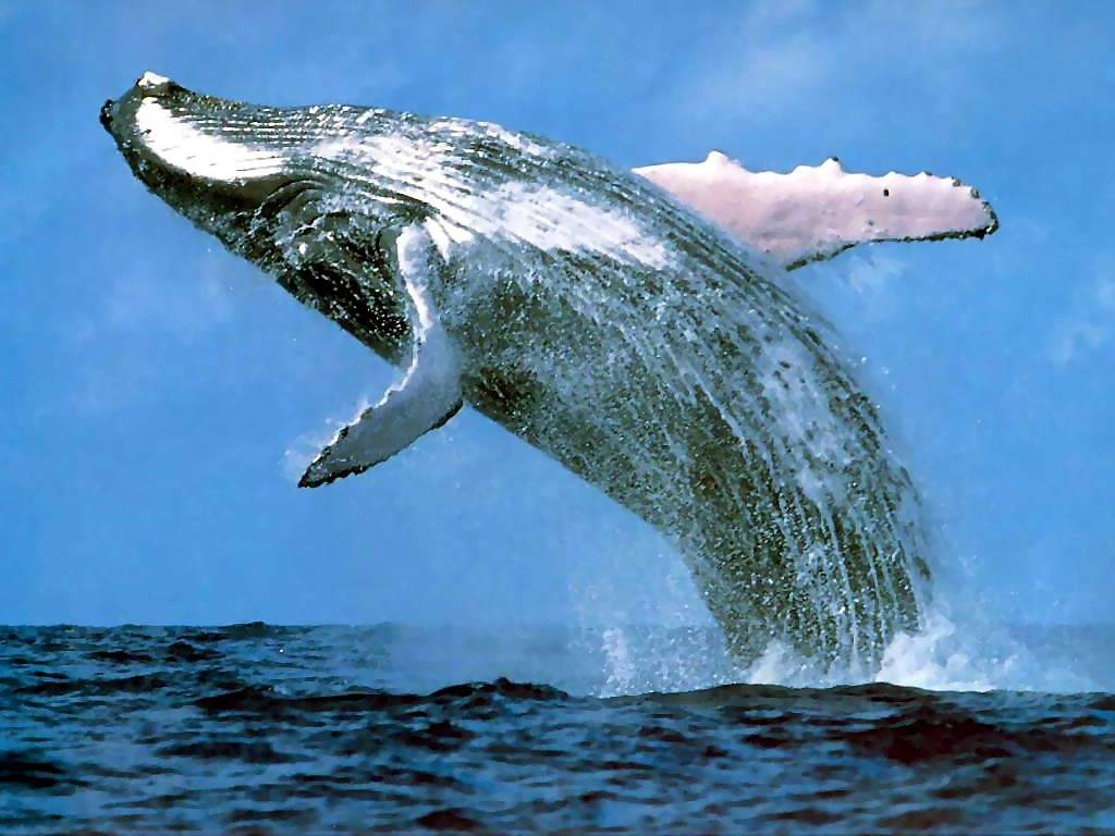 endangered types of whales