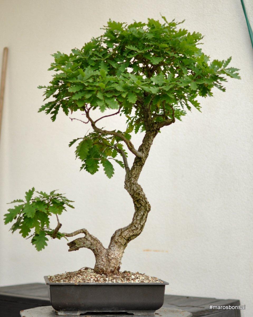 Maros Bonsai Blog Quercus Pubescens No4