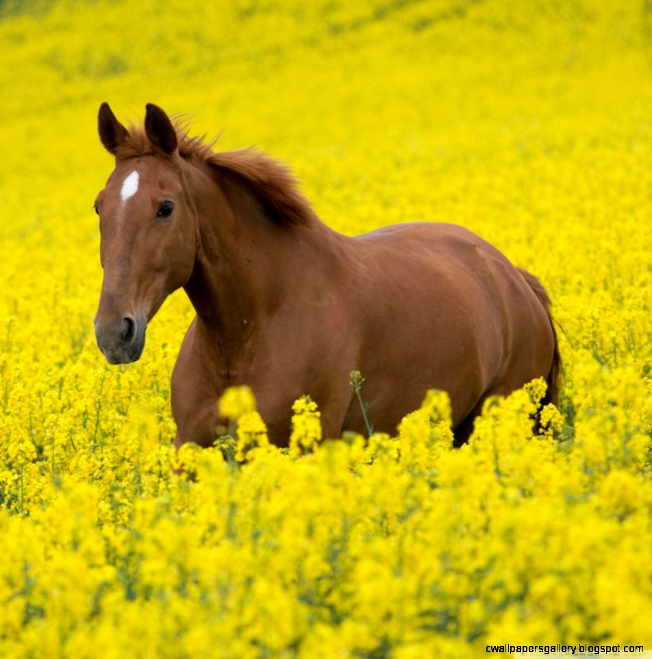 Horse In Flower Field HD desktop wallpaper  High Definition