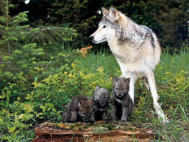 baby animals, cute animals, wolf pups