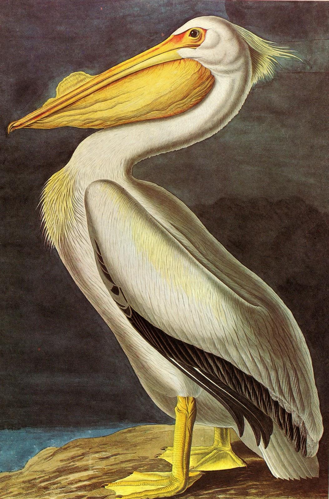 facsimilium audubons �birds of america� 19th century