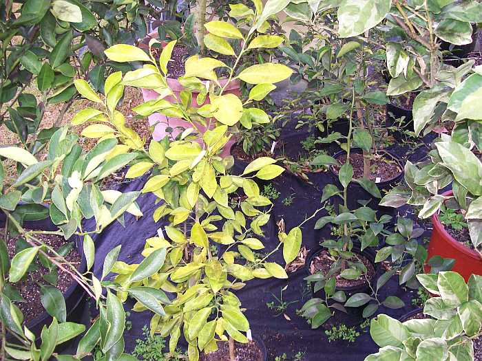 how to fix yellow leaves on lemon tree