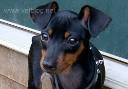 min pin minature pinscher