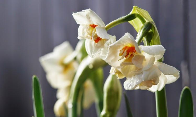 Plant forår i havens krukker ved hjælp af skønne løgplanter