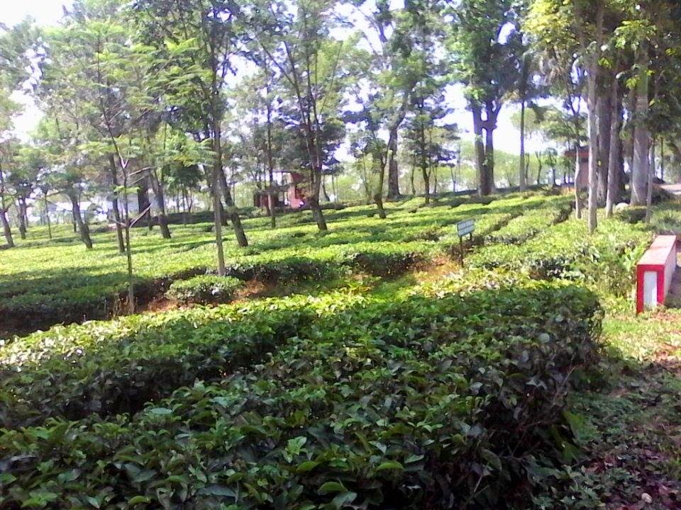 java tea plantation