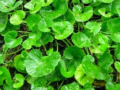manfaat daun antanan kesehatan,daun antanan kumpulan Tutorial,artikel manfaat daun antanan,resep manfaat daun antanan,antanan panjang umur,