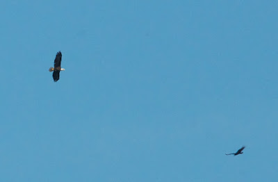 Bald Eagle and Turkey Vulture