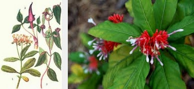 indian snakeroot dangerous herbs