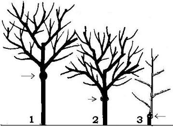 Hoe hoog wordt een kersenboom