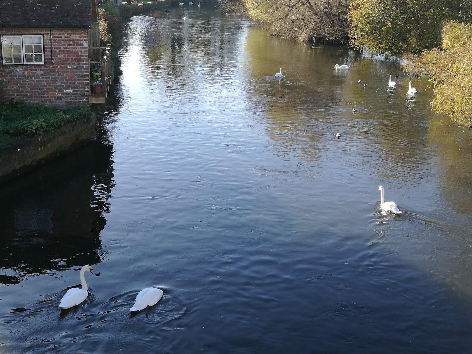Hattyúk az Avon folyón
