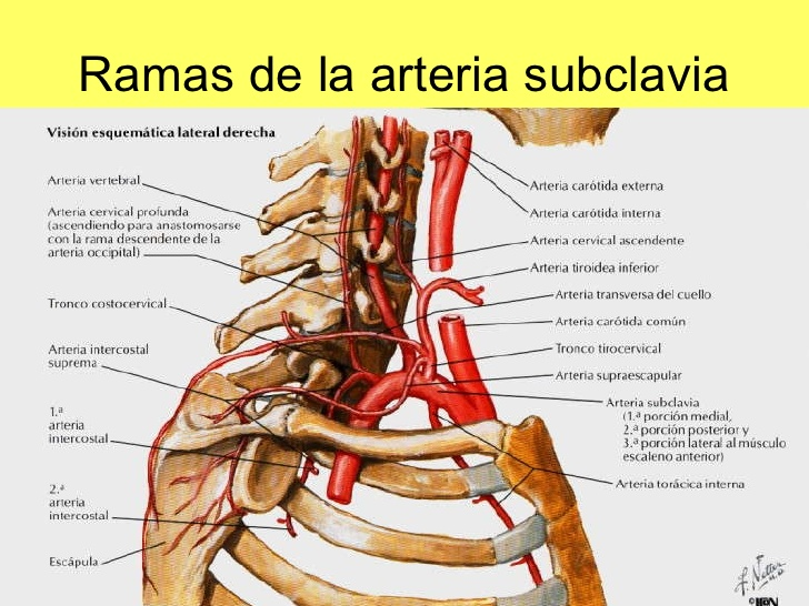 Anatomía Humana : Arteria subclavia