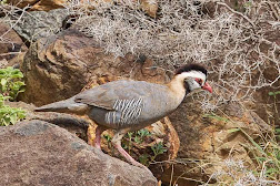 Arabian Endemic Bird Species