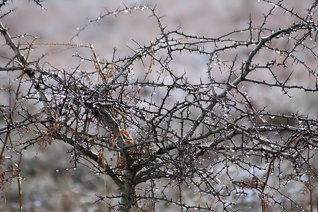 A hawthorn tree in winter.