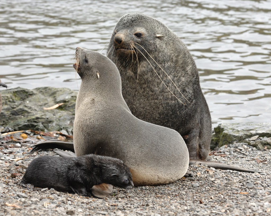 Genetic study shows major impact of climate change on Antarctic fur seals