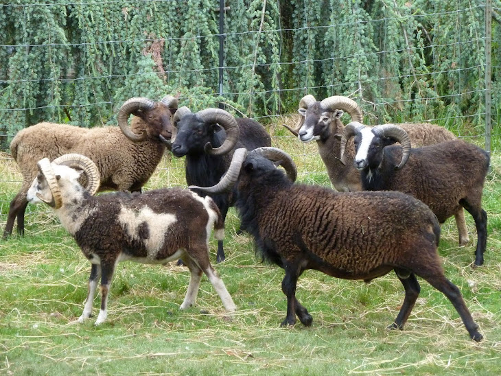 Woodland Creek Soay Rams