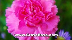 Cravo Rosa