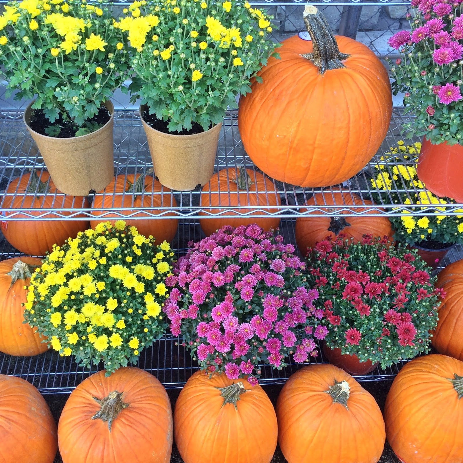 orange-pumpkins-and-mums