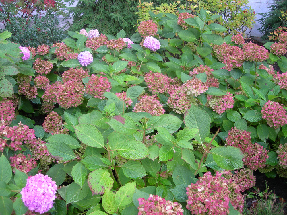 Reed 39 s garden ramblings what 39 s the right hydrangea for for New garden plants
