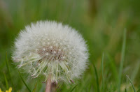 Dandelion flower gone to seed