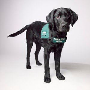 Black Lab Guide Dog puppy Caleb