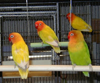 comment on this picture jenis love bird dan harganya comment