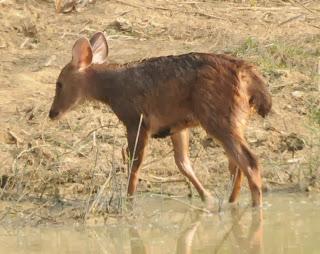 Sambar (Rusa unicolor)