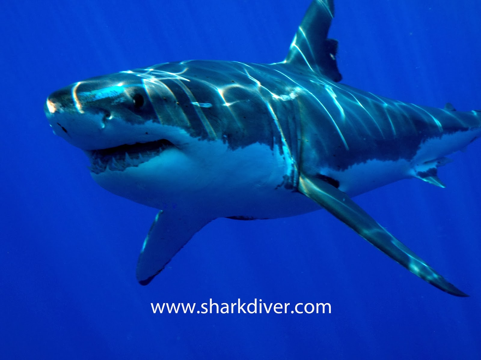 another catch and kill order for a great white shark sharkdiver another catch and kill order for a great white shark