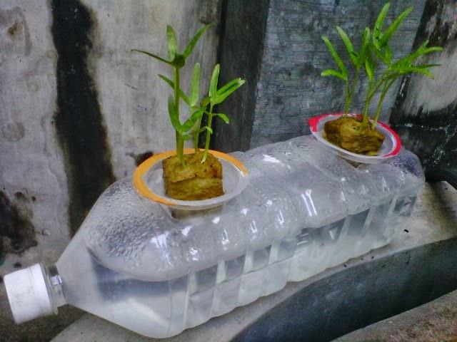 Hidroponik Sayuran Kangkung Kangkung Hidroponik Ini