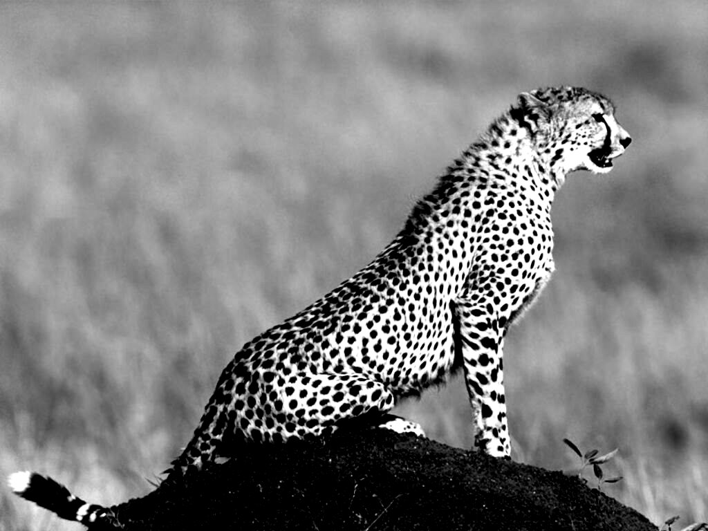 http://3.bp.blogspot.com/-C_3mdgc-Pbs/UDena-GsU5I/AAAAAAAACs8/NRCq0gP6cs4/s1600/speedy_wild_animal_cheetah_black_and_white_wallpaper.jpg