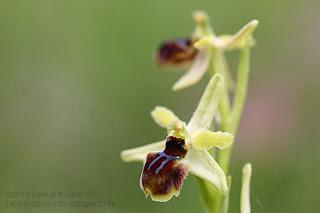 Macro ophrys araignée ou litigieux photo d'orchidée sauvage