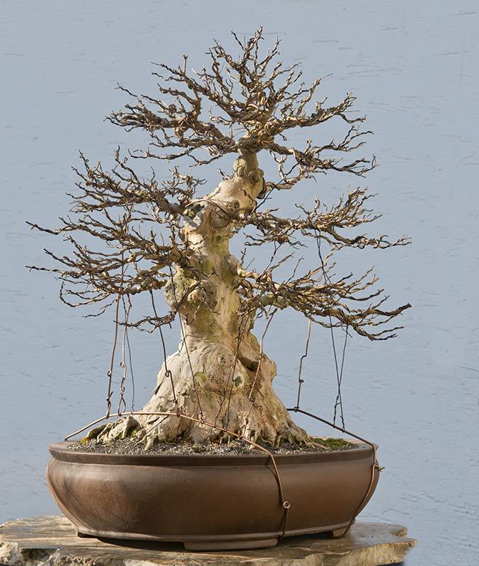 walter pall bonsai adventures trident maple 9 second wiring rh walter pall bonsai blogspot com Bonsai Wire Sizes Bonsai Shapes