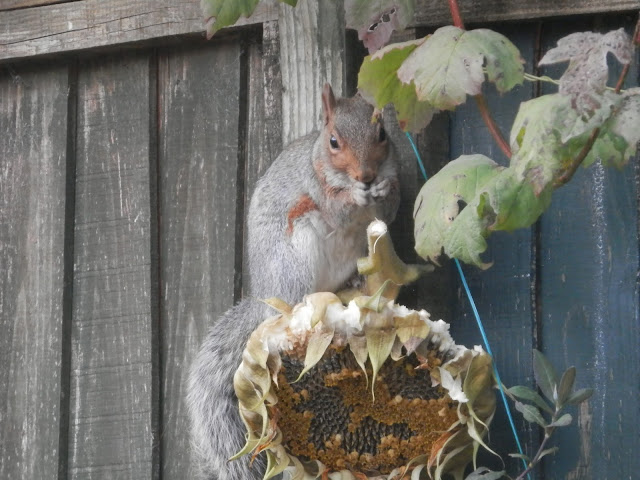 Sunflower Seed Head Bird Feeder.  My Garden, October 2015, Autumn Gardening.  secondhandsusie.blogspot.co.uk
